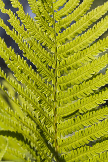 Germany, Laupheim, Leaves of fern, close up - HAF000131