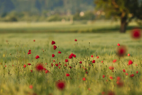 Germany, Baden Wuerttemberg, View of poppies in field - BSTF000091