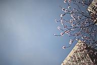USA, San Francisco, cherry tree - CMOF000003
