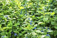 Scotland, Stinging nettles flower plant - SMAF000125