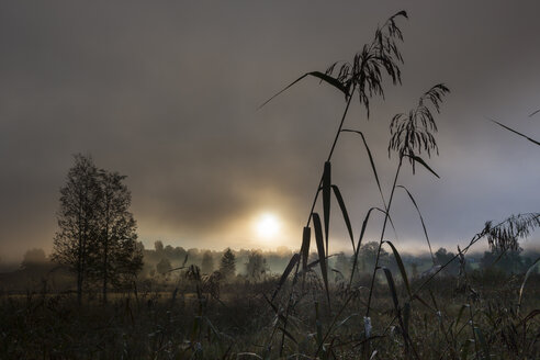 Germany, Bavaria, View of reeds in fog - AMF000545