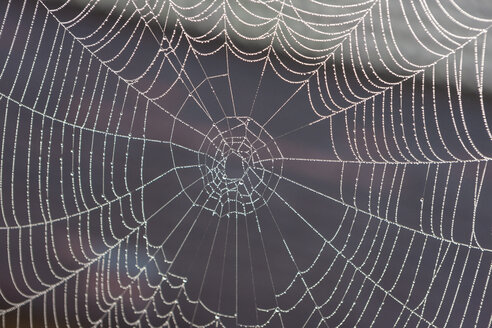 Germany, Bavaria, View of morning dew on spider web - AMF000557