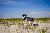 Denmark, Romo, Dog standing at North Sea - MJF000271