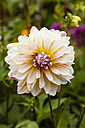 Germany, Hesse, Dahlia flower, close up - SR000284