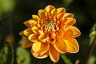 Germany, Hesse, Dahlia flower head, close up - SR000293