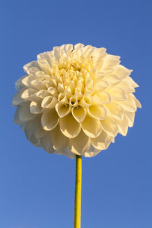 Germany, Hesse, Dahlia flower against clear sky, close up - SR000301