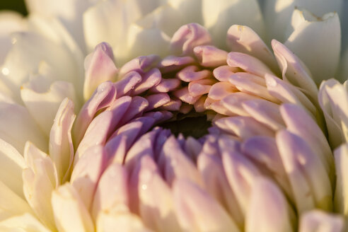Germany, Hesse, Dahlia flower, close up - SR000302
