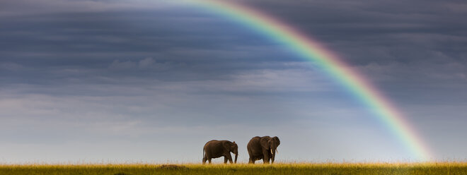 Africa,Kenya, View of African elephants in Masai Mara National Park - AMF000615