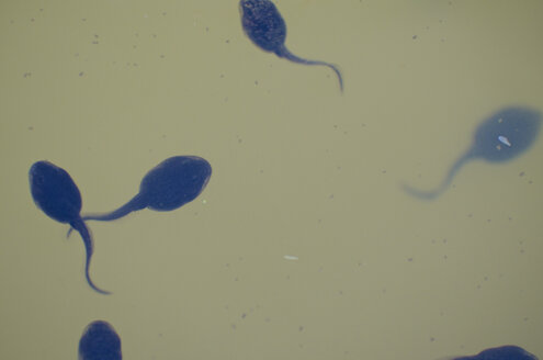 Germany, Group of young tadpoles, close up - MHF000193