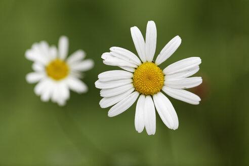 Austria, Meadow Daisy, close up - GFF000095