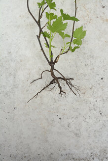 Weed with root, close up - AX000470