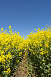 Germany, Baden Wuerttemberg, View of Yellow rape field - ELF000209