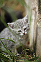 Germany, Baden Wuerttemberg, Kitten sitting near wall, close up - SLF000210