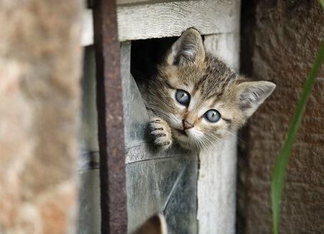 Germany, Baden Wuerttemberg, Kitten looking out of broken window - SLF000207