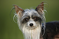 Germany, Baden Wuerttemberg, Chinese crested dog, close up - SLF000179