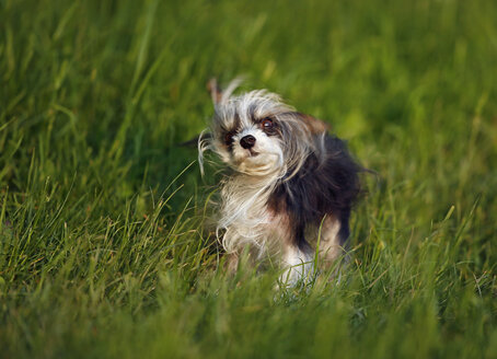 Germany, Baden Wuerttemberg, Chinese crested dog on grass - SLF000185