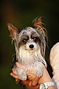 Germany, Baden Wuerttemberg, Chinese crested dog taken in hand, close up - SLF000186