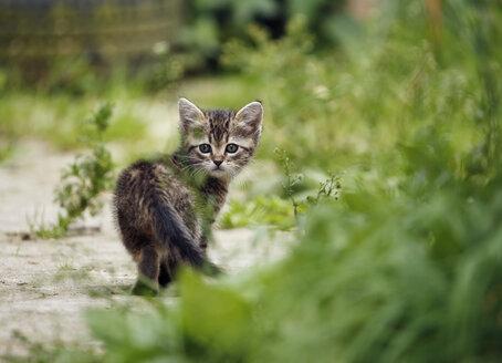 Germany, Baden Wuerttermberg, Kitten walking - SLF000203
