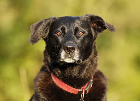Germany, Baden-Wuerttemberg, black dog, mixed breed, portrait - SLF000233