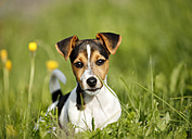 Germany, Baden-Wuerttemberg, Jack Russel Terrier puppy on meadow - SLF000235