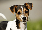 Germany, Baden-Wuerttemberg, portrait of Jack Russel Terrier puppy - SLF000238