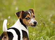 Germany, Baden-Wuerttemberg, Jack Russel Terrier puppy standing on meadow - SLF000239