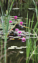 Germany, Saxony, Water lilies in pond - JTF000476