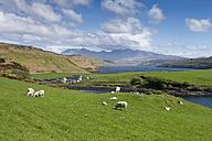 United Kingdom, Scotland, Isle of Skye,  View of sheep grazing on green meadow - ELF000291