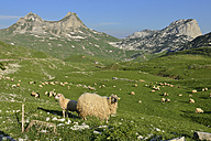 Montenegro, Sheeps grazing grass at Durmitor National Park - ES000436