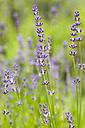 Germany, Saxony, Lavender flower, close up - JT000479