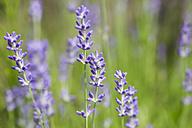 Germany, Saxony, Lavender flower, close up - JT000480