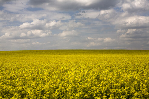 Germany, Brandenburg, yellow rape field - CNF000016