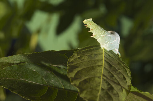 Germany, Hesse, Caterpillar of lime hawkmoth - MHF000200