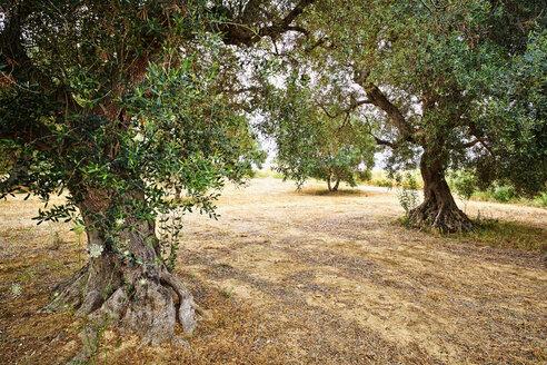 Italy, Apulia, Olive trees in field - DIK000054