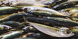 Portugal, Lagos, Atlantic mackerel fish - WDF001899