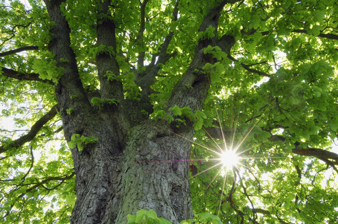 Germany, Mecklenburg Western Pomerania, Chestnut tree with sunlight - RUEF001080