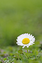 Germany, Bavaria, Daisy flower, close up - RUEF001086