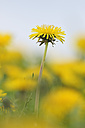 Germany, Bavaria, Dandelion flowers, close up - RUEF001089
