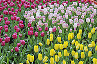 Holland, Springtime garden with tulips, close up - RUE001091