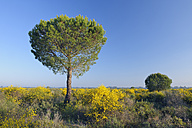 Spain, Pine tree in spring at Donana National Park - RUEF001105