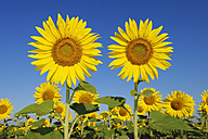Italy, Sunflowers against blue sky, close up - RUEF001112