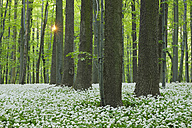 Germany, View of Ramson and beech trees in forest - RUEF001150