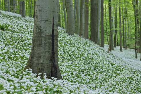 Germany, View of Ramson and beech trees in forest - RUEF001151