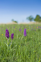 Germany, Mecklenburg-Vorpommern, View of Dactylorhiza majalis at meadow - MJF000347