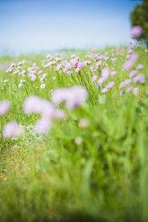 Germany, Mecklenburg-Vorpommern, View of Armeria maritima in meadow - MJF000349