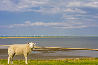 Germany, Schleswig-Holstein, View of sheep on grass with wind turbine background - MJF000335