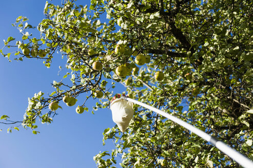 Germany, Saxony, Fresh apples on tree - MJF000344