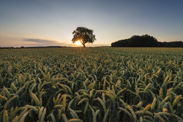 Germany, Baden Wuerttemberg, Hegau, View of wheat field at sunset - ELF000362