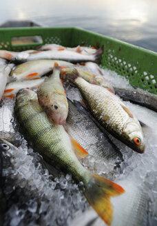 Germany, Bavaria, Fresh fish on fishing boat at Lake Starnberg - LHF000274
