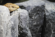 Indonesia, Brown Lizard on rock - KRP000020